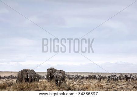 A herd of wild elephants graze in Kenya