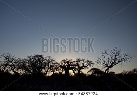 Baobab trees in the setting sun of Botswana