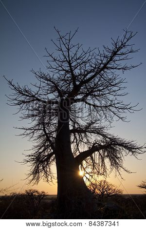 A baobab tree in the setting light of day