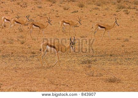 Springbok 1