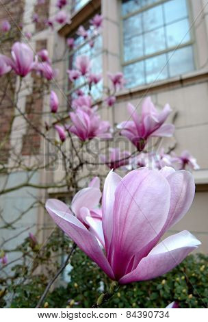 Diagonal Of Pink Magnolia Flowers In Front Of A Campus Building