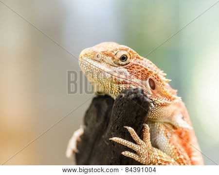 Bearded Dragon Or Pogona Vitticeps, Selected Focus.
