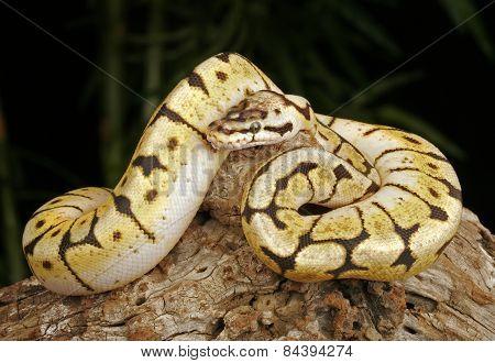 Bumblebee Python.