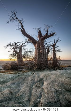 A large baobab tree on Kubu Island in Botswana
