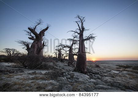 Baobab trees on the edge of a large salt pan