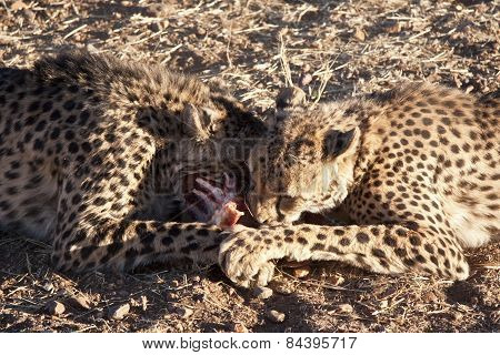 Cheetahs eating the spoils of a recent hunt