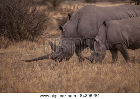 Mother and daughter rhino eating grass at sunset