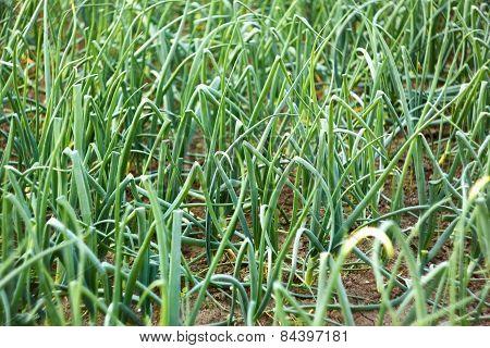 Green Onion Plants In Soil