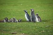 stock photo of falklands  - Group of juvenile Magellanic Penguins (Spheniscus magellanicus) huddled together in a creche in a grassy meadow on Bleaker Island in the Falkland Islands.