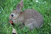 image of wild-rabbit  - Cute gray wild baby rabbit in grass eating cherry - JPG