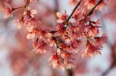stock photo of sakura  - Spring flower beautiful nature with sakura bloom in vibrant pink cherry blossom is special of Dalat Vietnam blossom in springtime amazing old tree nice view up to sky make abstract background - JPG