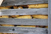 stock photo of corn cob close-up  - Old corn cob in stack. Corn cob in a wooden silo.