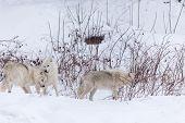 pic of horrific  - Several arctic wolves in a winter scene - JPG