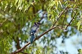 stock photo of blue jay  - Blue jay on brunch of tree in green background - JPG