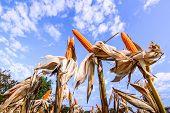 pic of corn stalk  - Dried corn in a corn field against blue sky - JPG