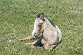 foto of colt  - Free colt lying in the countryside wildlife - JPG