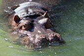 stock photo of hippopotamus  - A hippopotamus swimming playfully in the water - JPG