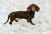 stock photo of long-haired dachshund  - Dachshund walks in the snow in the park. ** Note: Visible grain at 100%, best at smaller sizes - JPG