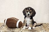 image of puppy beagle  - A seven week old beagle puppy posing with a toy football - JPG