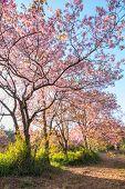 stock photo of sakura  - Beautiful pink cherry blossom or sakura flower branch on tree - JPG