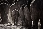stock photo of rear-end  - Elephants walking along the banks of the Chobe River ** Note: Visible grain at 100%, best at smaller sizes ** Note: Visible grain at 100%, best at smaller sizes - JPG