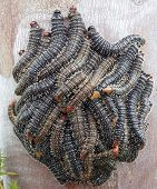 stock photo of larva  - A cluster of Native Australian Saw Fly larvae clinging to the trunk of a gumtree - JPG