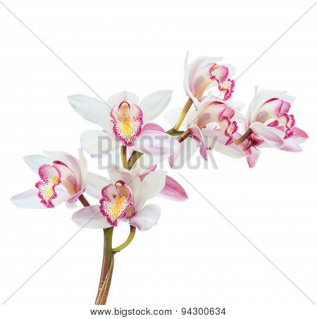 Beautiful White Cymbidium Flower Orchid Close Up Isolated On White Background