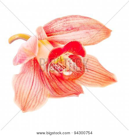 Beautiful Red Cymbidium Flower Orchid Close Up Isolated On White Background