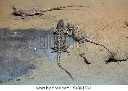 Steppe agama (Trapelus sanguinolentus). Wildlife animal.