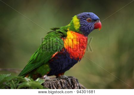 Rainbow lorikeet (Trichoglossus moluccanus). Wildlife animal.