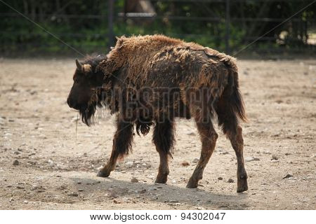 American bison (Bison bison), also known as the American buffalo. Wildlife animal.