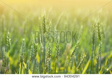 Wheat field with sunlight as backlight