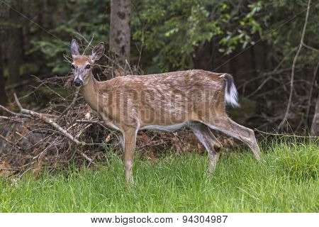 A lone deer in the forest