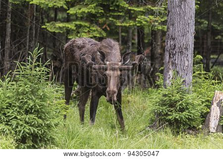 A large male moose in the forest