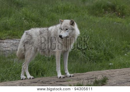 Arctic Wolf in the summer
