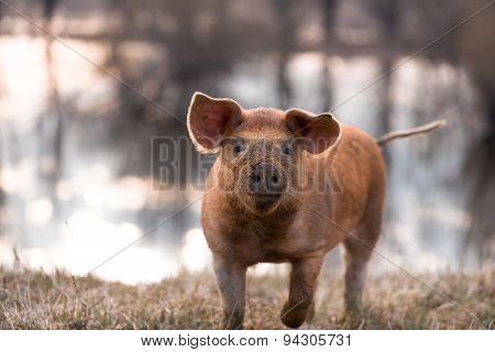 Cute Mangalitsa Pig