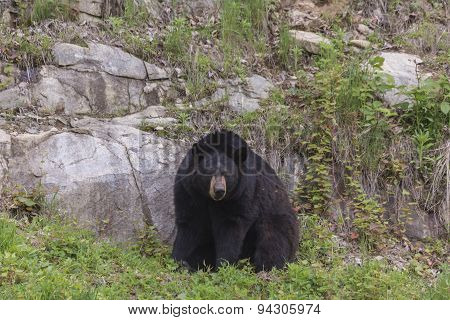 A large Black Bear