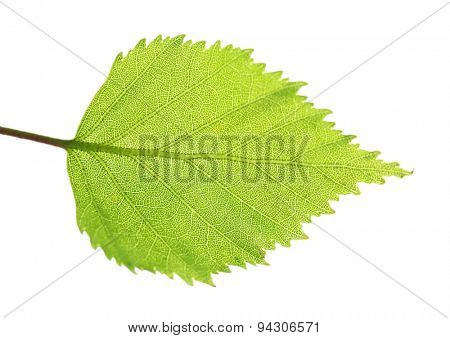 Spring birth leaf, isolated on white