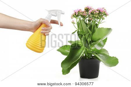 Female hand with sprayer and flowers isolated on white