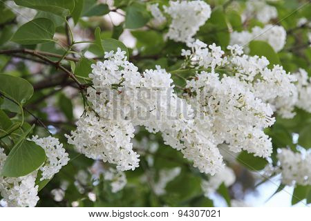 White Syringa Vulgaris blossoming