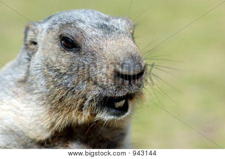 Marmot'S Profile