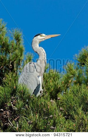A grey heron (Ardea cinerea) perched in a tree, South Africa
