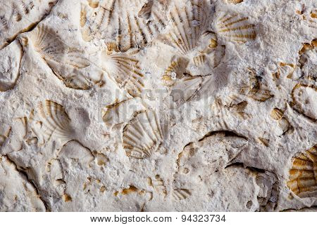Coquina Background Old Fossil Wall