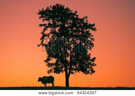 Sunset silhouette a cow