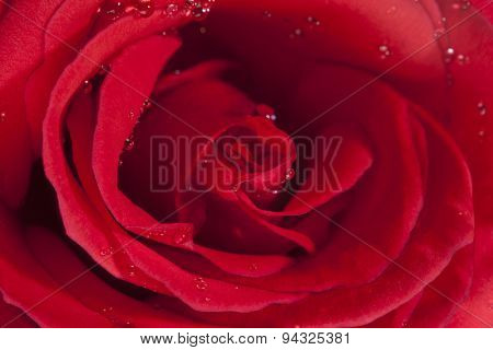 Closeup of red rose with dew drops