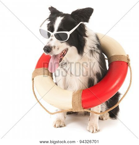 Border collie as funny rescue dog isolated over white background