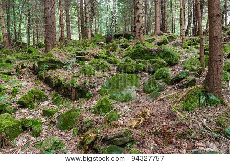 Mossy Stones In Coniferous Forest