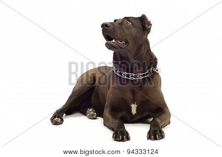 Staffordshire Terrier lying looking up