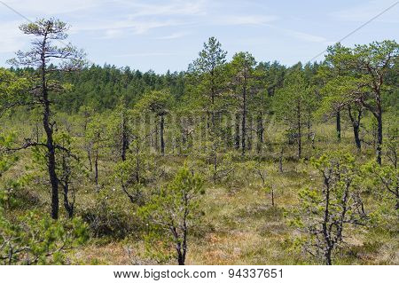 Pine Trees Of Viru Bog, Estonia