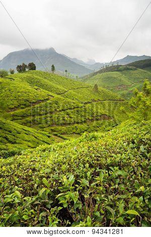 Tea plantations munnar india